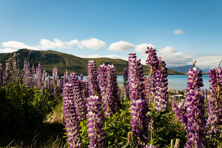 Lupins Lupin Wanderlust New Zealand Beauty Flower Plant Flowering Plant Beauty In Nature Sky Growth Nature Purple Cloud - Sky Freshness Vulnerability  Fragility No People Day Tranquility Tranquil Scene Land Scenics - Nature Lavender Mountain Outdoors Flower Head