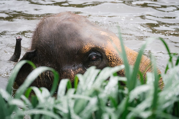 Close-up of grass against elephant calf swimming in lake