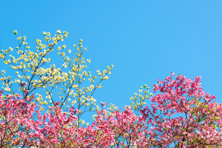 Pink and white cherry blossoms against a beautiful blue sky in Portland, Oregon Background Blossoming  Botanical Colors Downtown Floral Flower Flowers Japanese Garden Landscape Nature Northwest Oregon Outdoors Pink Plant Portland Portland, OR Season  Spring Street Structure Tree United States White
