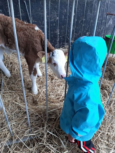 Baby boy standing by calf at pen