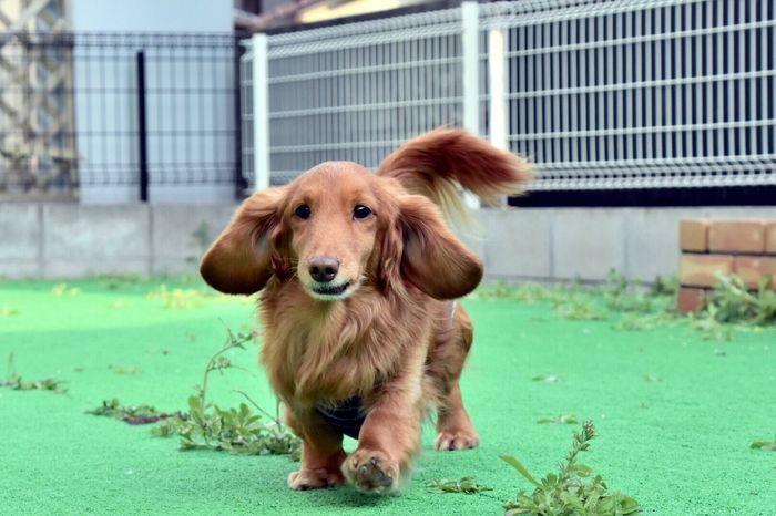 庭が草原化し始めました😱😱 I Love My Dog Dog Dachshund Dog Love Doglife Dog❤ Run Inmygarden