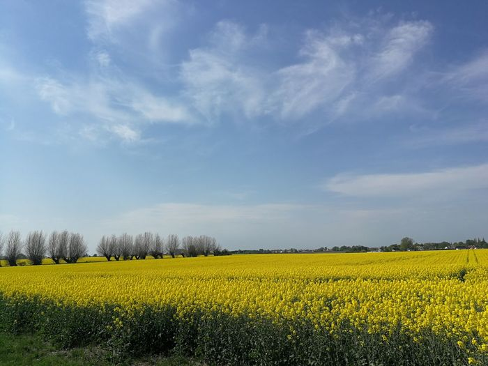 Original Photography Flower Rural Scene Oilseed Rape Yellow Flower Head Springtime Agriculture Mustard Plant Tree Field The Great Outdoors - 2018 EyeEm Awards