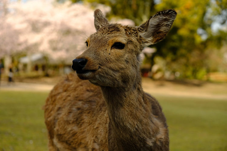 Close-up portrait of a deer