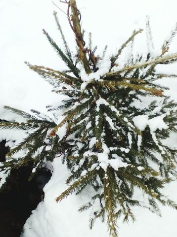 Winter Snow Cold Temperature Outdoors Tree Needle - Plant Part Pine Tree Nature Pinaceae No People Branch Christmas Christmas Tree Close-up Beauty In Nature Day Coniferous Tree Sky