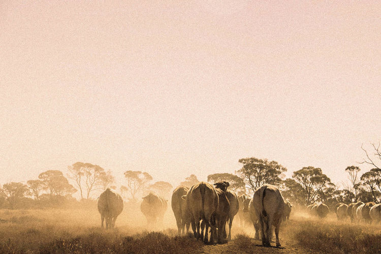 Agriculture Cattle Cows Mustering Outback Australia Cattle Property Cattle Truck Cattle Work Cattle Yards Rural Clear Sky Dust Dusty Road Dusty Track Farm Farm Animals Farm Life Farmer Grass Grazing Landscape Large Group Of Animals Loading Cattle Motorbike Silhouette Sunrise Togetherness Walking