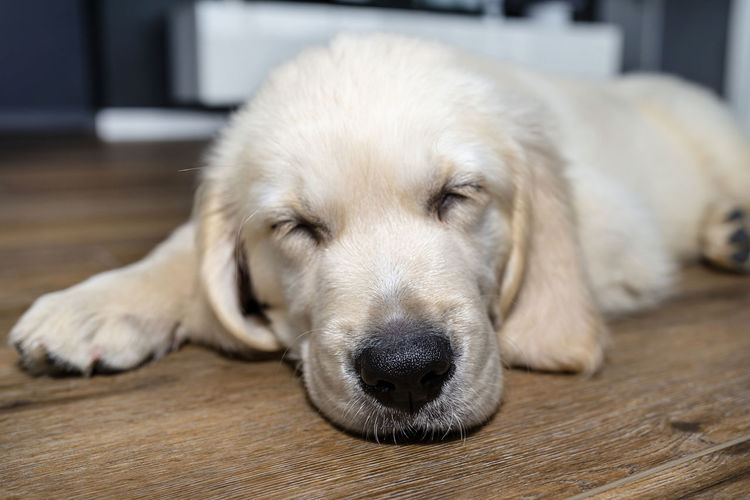 Close-up of a dog resting on floor at home