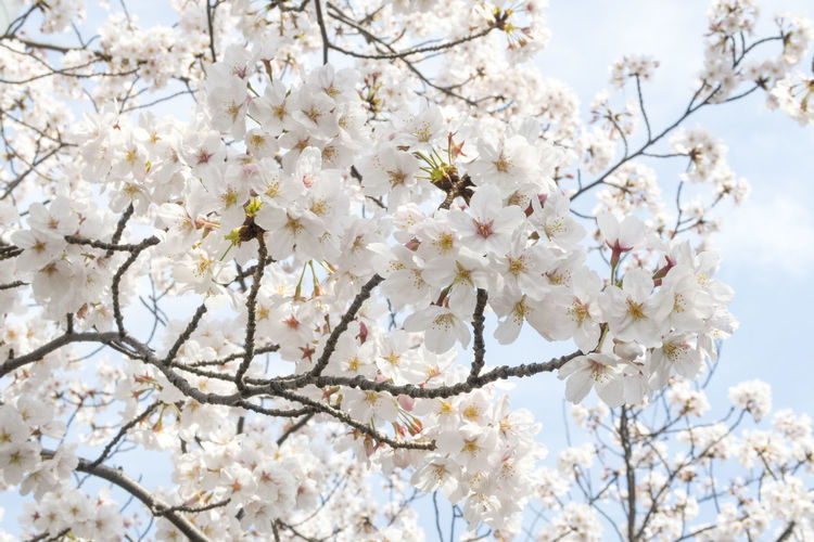 Beauty In Nature Blossom Branch Bunch Of Flowers Cherry Blossom Cherry Tree Close-up Day Flower Flower Head Flowering Plant Fragility Freshness Growth Low Angle View Nature No People Outdoors Plant Spring Springtime Tree Vulnerability  White Color