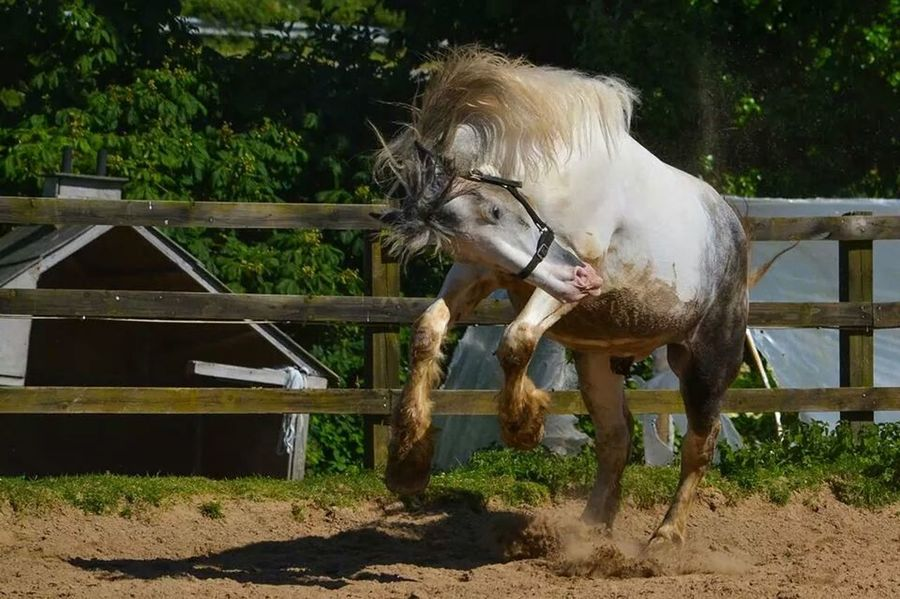 Big Blue showing off for his lady friends in the field :) Horse Cute Pet Photography  Nikon