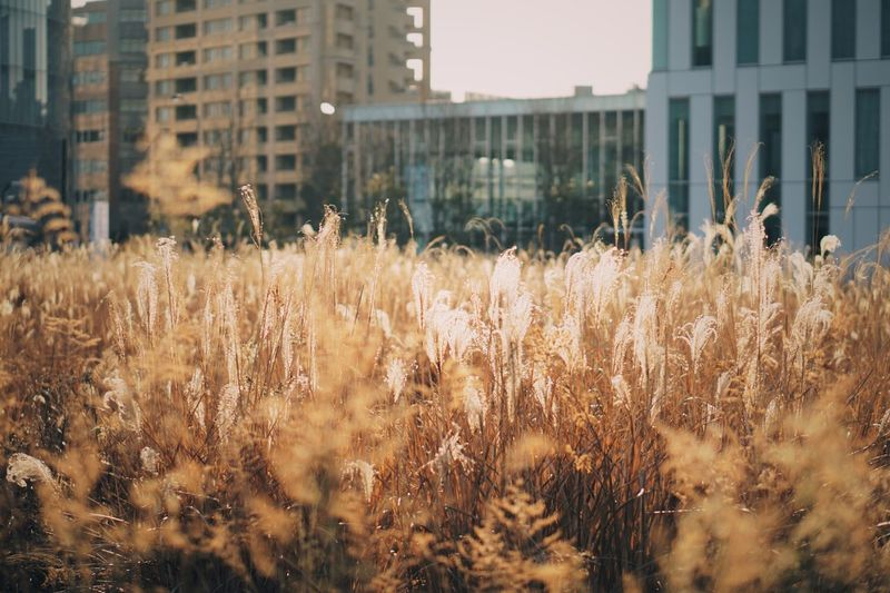 Gold. Building Exterior Built Structure Architecture Growth No People Day Outdoors Field Nature Close-up Grass Eye4photography  EyeEm Best Shots EyeEm Gallery EyeEm Best Edits EyeEm Nature EyeEmNewHere City Streetphotography Architecture Orange Color Cityscape
