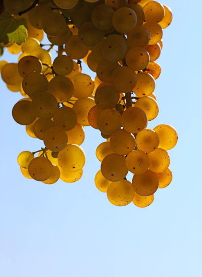 Close up of shiny golden ripe Autumn grape racemation bunches in vineyard over blue sky, low angle Agriculture Autumn Bunch Of Grapes Copy Space Freshness Golden Growth Hanging Shiny Bunch Clear Sky Close-up Crop  Day Food Grape Harvest Low Angle View Outdoors Ripe Season  Vine Vineyard Winemaking Yellow Food Stories