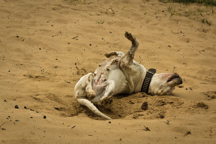 Animal Themes Animals In The Wild Beach Day Desert Dogo Argentino Domestic Animals Lucky Lying Down Mammal Nature No People One Animal Outdoors Relaxation Sand