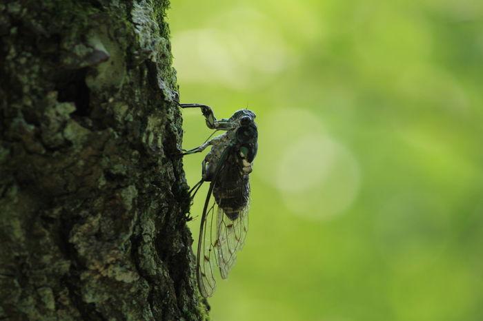 Cicada Summer Shot 夏の虫 蝉