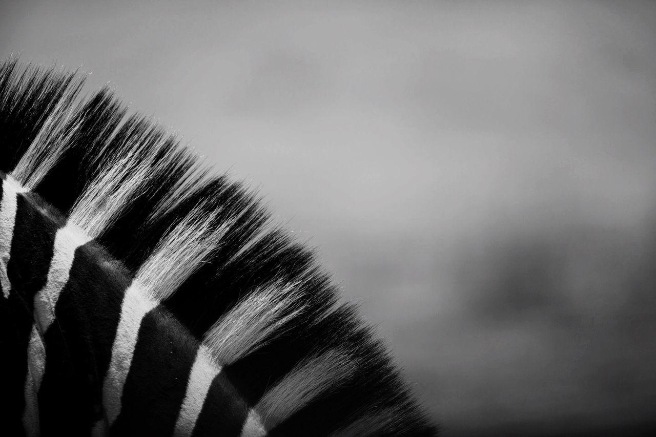 Close-up of zebra mane