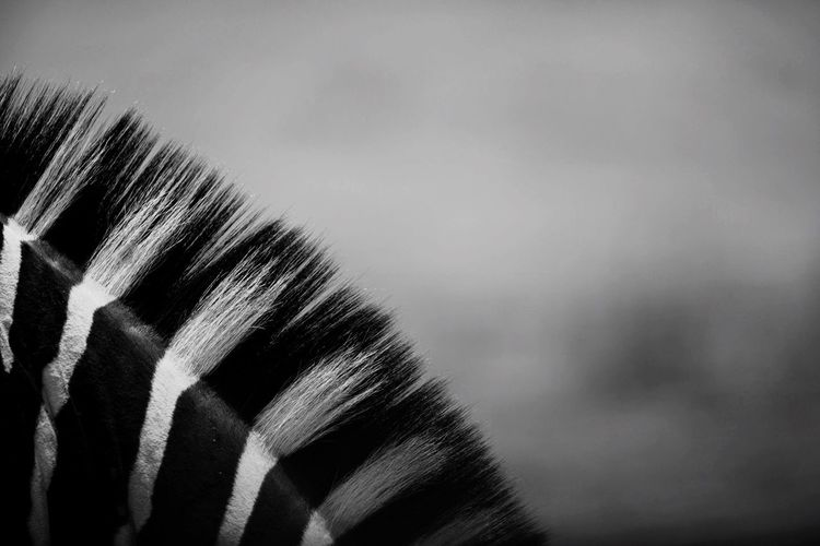 Close-up of zebra mane