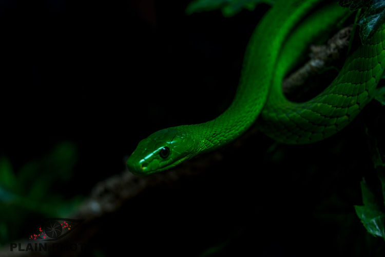 Green mamba Close-up Animals In The Wild Wildlife Green Color Nature Green Zoology Snake Mamba