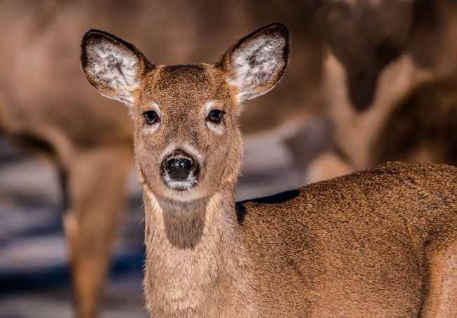 Animal Themes Animal Wildlife Animals In The Wild Backyard Visitor Beauty In Nature Close Up Nature Close-up Close-up Wildlife Day Deer Doe Fawn Nature No People Ontario, Canada Outdoors Tame The Week On EyeEm White Tailed Deer White-tailed Deer Wildlife Wildlife & Nature Wildlife Photography Young Animal Young Deer