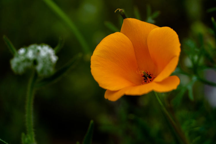 Close-up of yellow poppy flowering plant