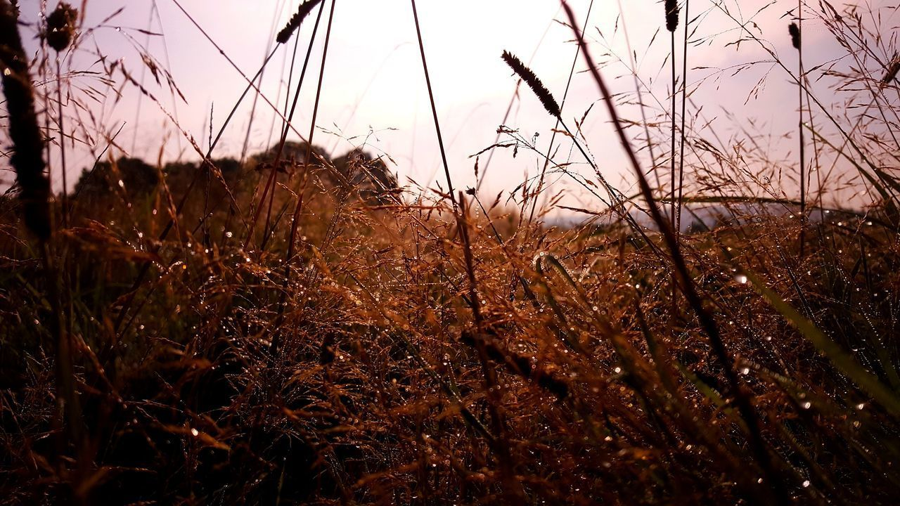 plant, sky, field, land, tranquility, growth, nature, no people, beauty in nature, tranquil scene, grass, day, close-up, landscape, sunset, outdoors, environment, non-urban scene, brown, dry, stalk