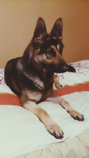 My liitle sweetheart the beat dog I have ever had Pets Animal Dog No People German Shepherd Domestic Animals Indoors  Day Bed One Animal Love Love My Dog  Sam Samantha  Cute Pets Cute Cute Dog