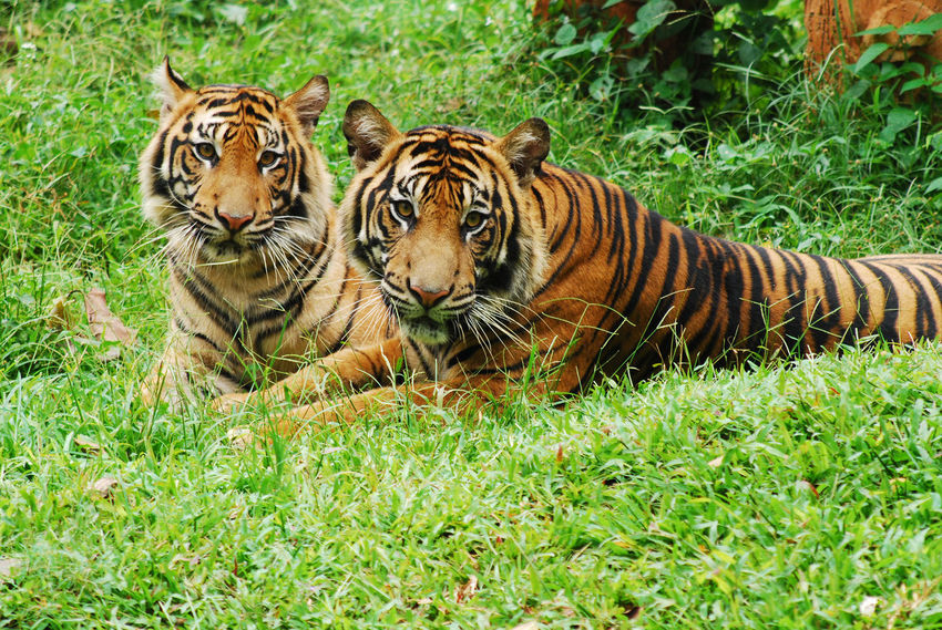 The couple of sumatra tigers Sumatra Tiger Zoo Animals  Tiger Safari Animals Relaxation Grass Big Cat