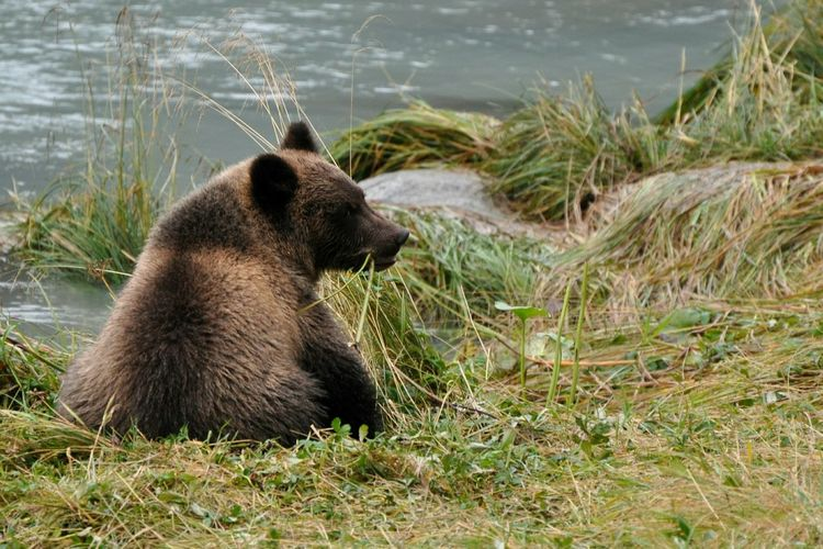 Bear Cub Alaska Alaskan Nature Bear Animal Wildlife Animal Grizzly Bear Animals In The Wild No People Close-up Animal Themes The Great Outdoors - 2018 EyeEm Awards