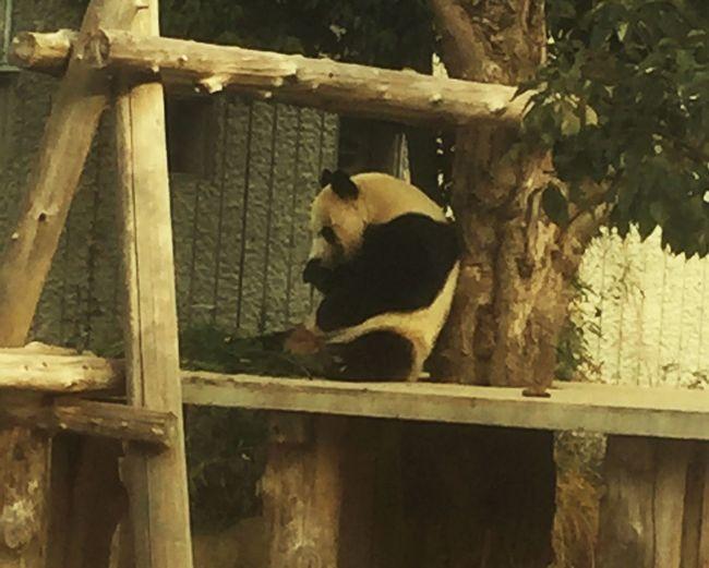 Newyearholidays 王子動物園 パンダ Panda Zoo 神戸 Enjoying Life Kobe-shi,Japan もぐもぐタイム Meal Time