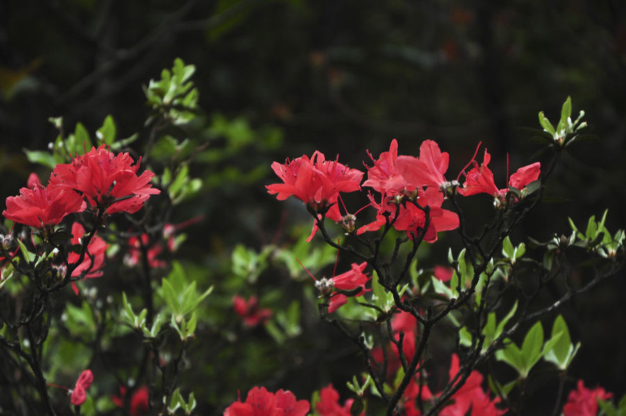 Blossoming azalea flowers closeup in spring Natural Beauty Plant Azalea Azalea Bush Azalea Flowers Backgrounds Beauty In Nature Blooming Flower Blossom Botany Closeup Delicate Floral Flower Flowers Foliage Growth Nature No People Outdoor Outdoors Petal Red Flower Spring Springtime