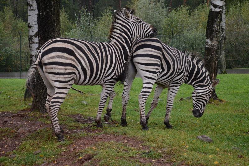 Animal Themes Playing Zebras Stripe Safari Animals Striped Two Animals Wildlife Zebras