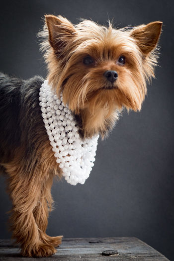 Portrait Of Yorkshire Terrier With Pearl Necklace On Table Against Black Background