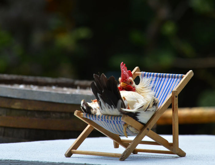 Coq Humour Oiseaux Sieste