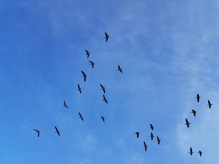 Geese Bird Flying Spread Wings Flock Of Birds Mid-air Silhouette Sky Animal Themes