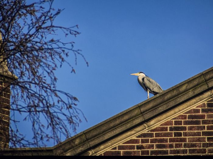 Gray Heron On House Roof Against Clear Blue Sky