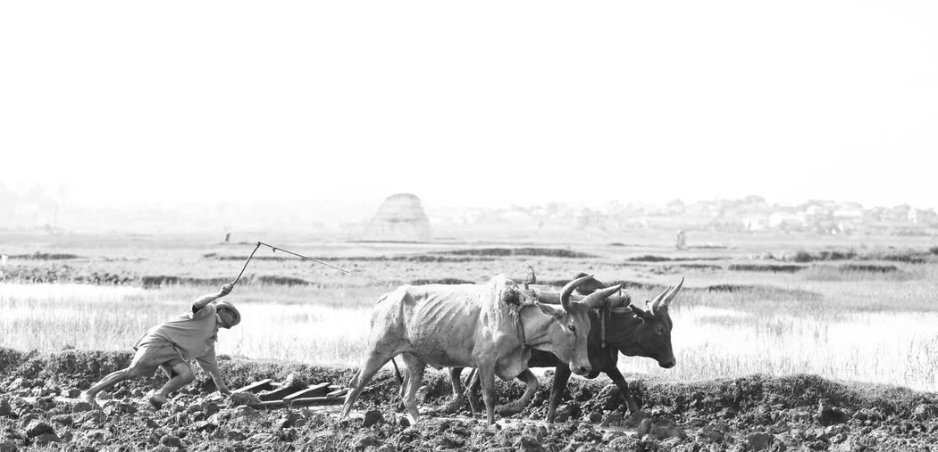 Farmer Plowing Field With Cows At Farm