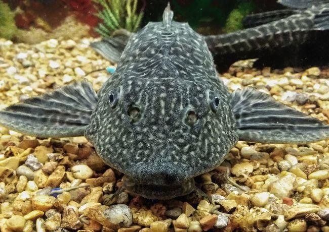 One Animal Close-up Sucker Underwater Pet Aquarium Fish Aquatic Hypostomus Plecostomus Suckerface Catfish Animal Themes Pleco Catfish Plecostomus Pleco Fish