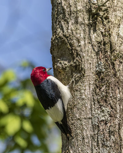 A beautiful red-headed woodpecker climbing a tree. Bird Animal Themes Animal Tree One Animal Animals In The Wild Tree Trunk Animal Wildlife Red Perching Woodpecker Nature Outdoors Red-bellied Woodpecker Melanerpes Erythrocephalus Wildlife Animals In The Wild Nature Birding Colorful WoodLand Forest Ornithology  Wall Decoration Home Decor Office Decorations Natures Beauty Natural Beauty