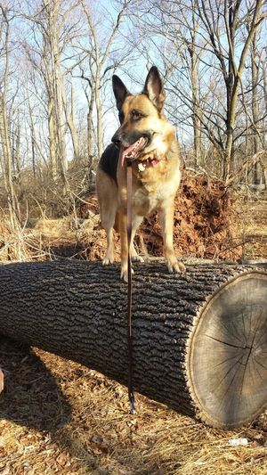 Climbing on our daily hike GSD Dog Outdoors On A Hike