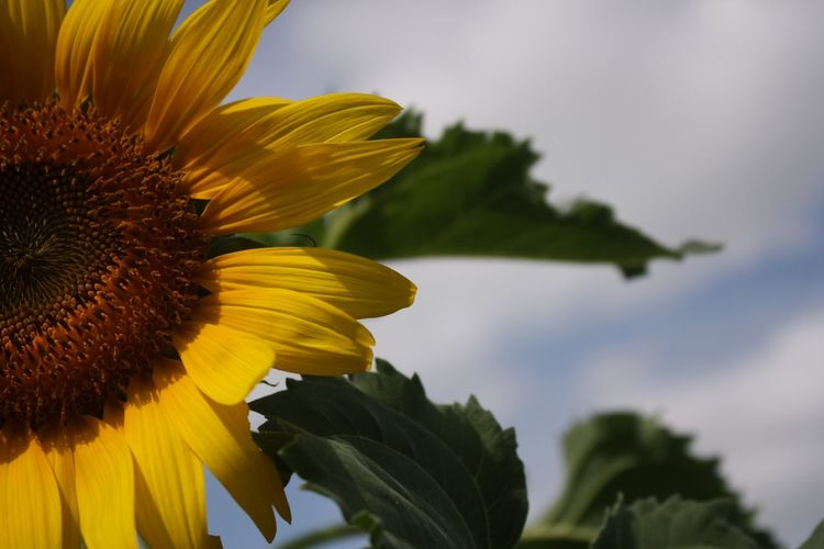 Close-up of sunflower