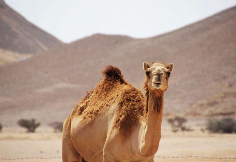 Camel Desert Funny Faces