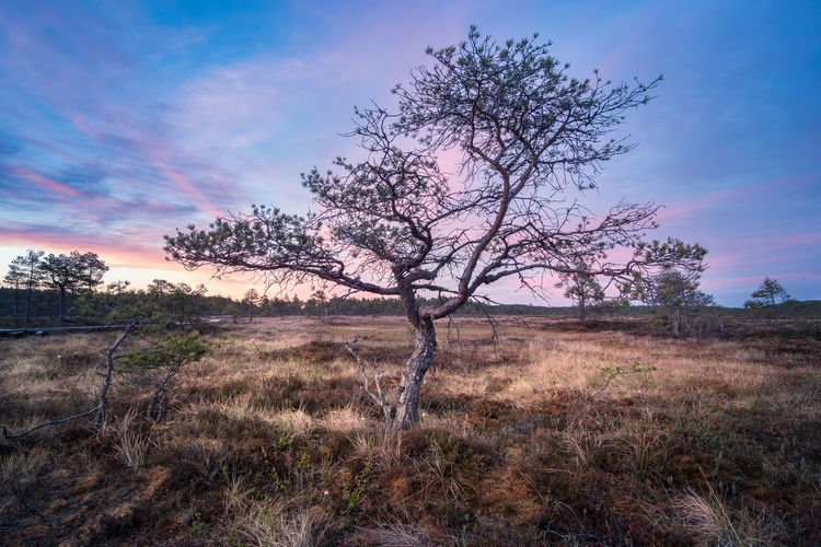 Little tree with sunrise at summer night in National Park, Torronsuo, Finland Beauty In Nature Blue Bridge Colorful Focus On Foreground Grass Landscape Light Lone Mi Mire National Park Nature Night Outdoors Pine Scenics Sky Summer Sun Swamp Tranquility Tree Trunk Wood