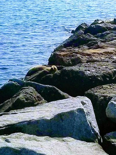 Seal relaxes on a rock jetty in Corona del Mar, California, USA. Water Sea Nature Rock - Object No People Outdoors Beach Beauty In Nature Day Seal Jetty Animal Ocean Rocks Relaxing Animal Encounters Marine Life