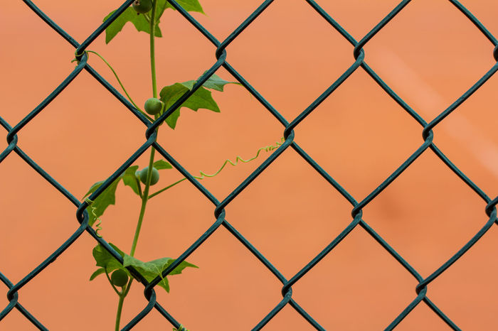 Backgrounds Close-up Day Fence Green Color Growth Leaves Narrow Depth Of Field Nature No People Outdoors Pattern Plant Plant Part Plants And Flowers Wire Mesh Fence