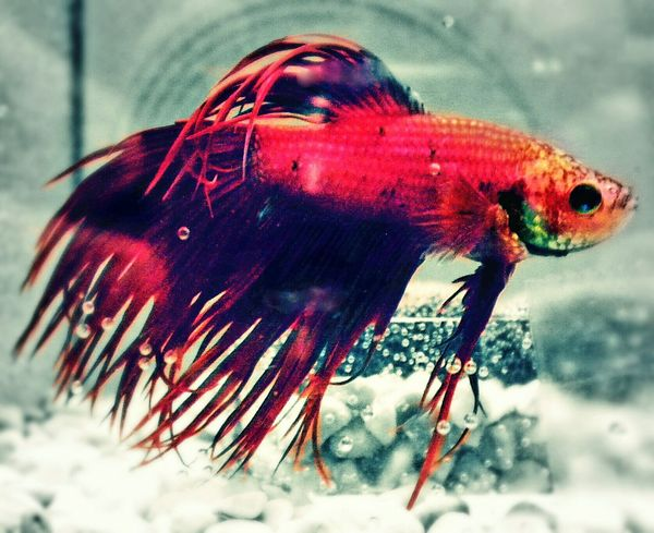 Betta Fish Jethro Fighting Fish Blood Red Detail Macro Fish Tank Bubbles Close-up No People Red Outdoors One Animal Day Animal Themes