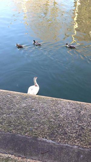 Bristol Harbour Bristol Bristol, England Bristol Harbour Uk Harbour Duck Ducks Amimals First Eyeem Photo