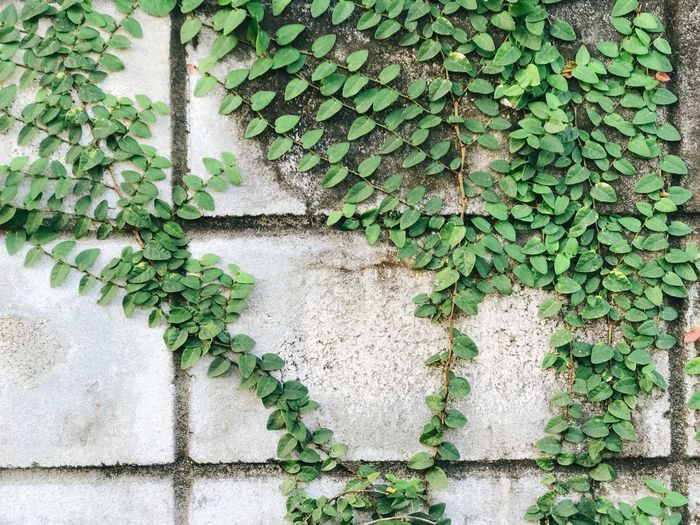 Architecture Beauty In Nature Brick Brick Wall Building Exterior Built Structure Close-up Creeper Plant Day Green Color Growth Ivy Leaf Nature No People Outdoors Plant Plant Part Wall Wall - Building Feature