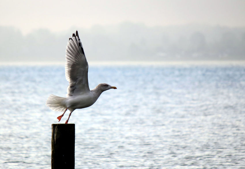Animal Wildlife Animals In The Wild Beauty In Nature Bird Dance Dancer Dancing Flying Sea Seagull Spread Wings Wings