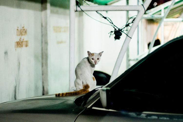 Carpark Cat
