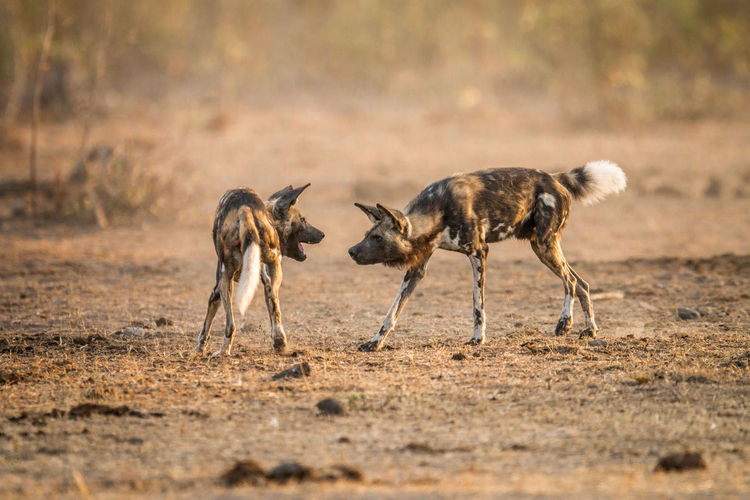 Wild Dogs Fighting On Field
