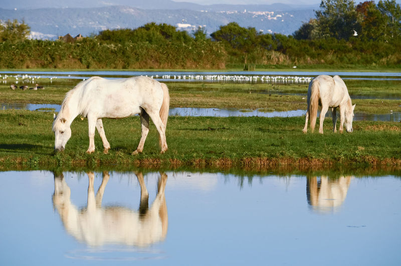Horses grazing in a lake