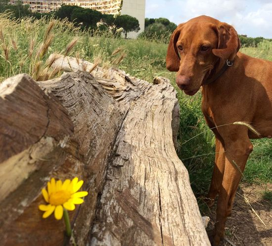 Beauty In Nature Blooming Dog Dog Love Flower Flower Head Fragility Growth In Bloom Nature Dogslife Dogs Of EyeEm Vizsla Magyar Vizsla Hungarian Vizsla Nana's Life Yeah Springtime! In The Park See What I See Springtime Pet Walking The Dog Happy Happiness Motion