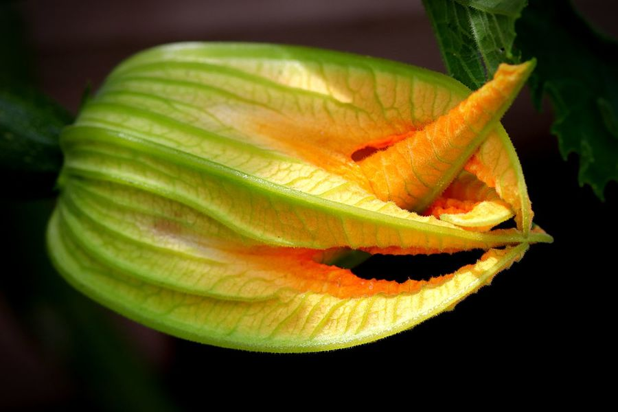 Courgette Flower Flowering Plant Flower Close-up Plant Fragility Vulnerability  Growth Black Background Day Focus On Foreground Beauty In Nature Freshness Petal Flower Head No People Nature Orange Color Yellow Outdoors The Great Outdoors - 2018 EyeEm Awards